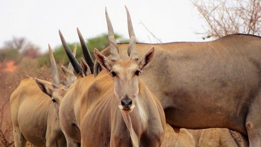 Namibia Kalahari Wüste Eland Antilope Elenantilopen