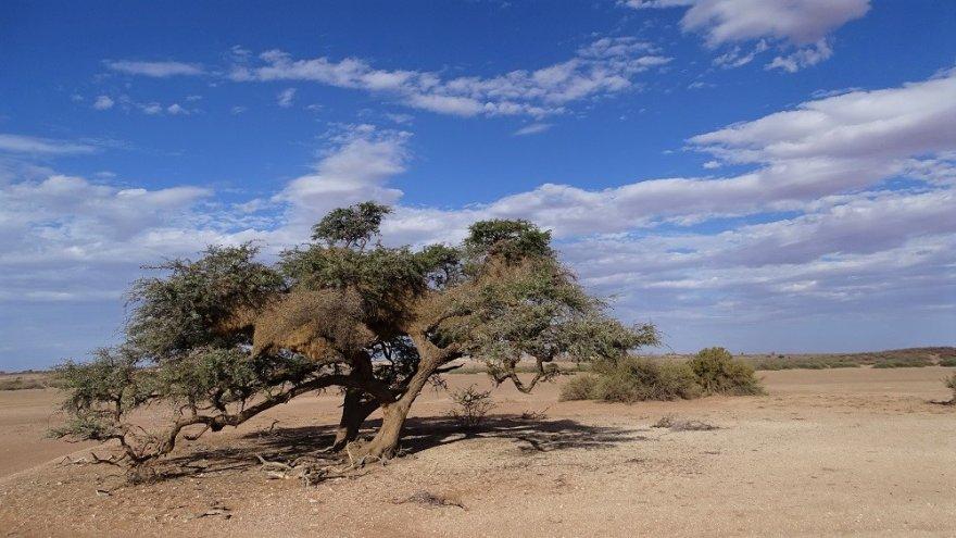 Namibia Kalahari Wüste Webervogelnest Akazie