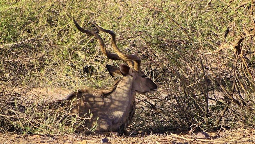 Namibia Kalahari Wüste Kudu Savanne Männchen