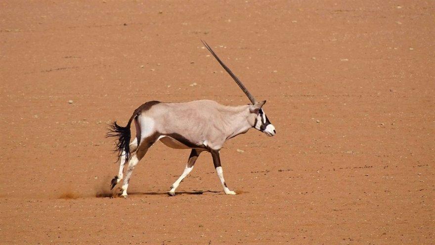 Namib Wüste Oryx Antilope Spießbock Gemsbok