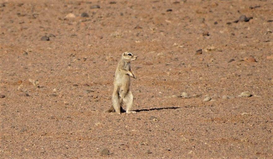 Namib Wüste Manguste