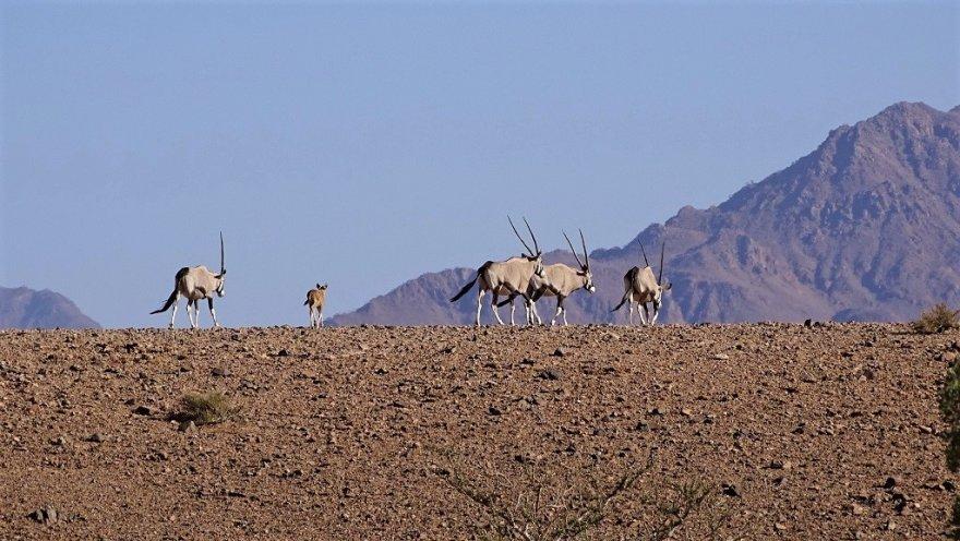 Namibia NamibRand Nature Reserve Wüste Oryx Antilopen Familie Baby