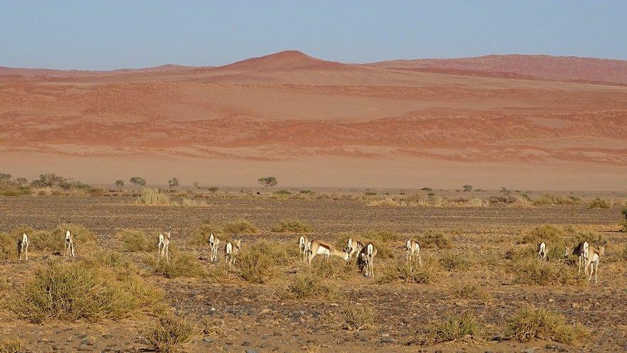 Namibia Namib Naukluft Nationalpark Springböcke Düne