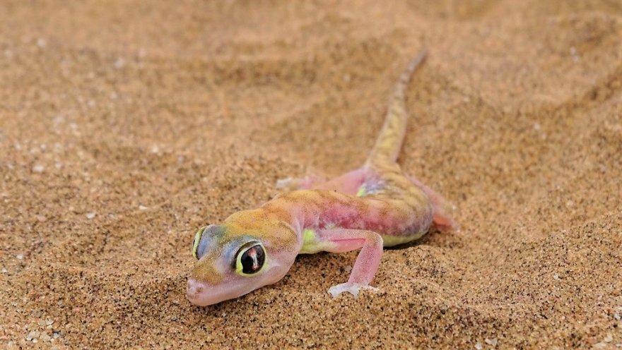 Namibia bei Swakopmund Dorob Nationalpark Namib Gecko