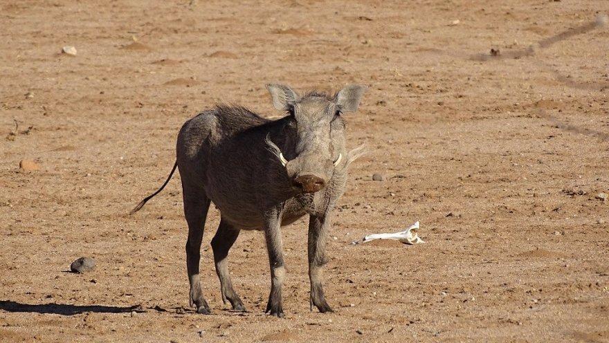 Namibia Erongo-Gebirge Warzenschwein