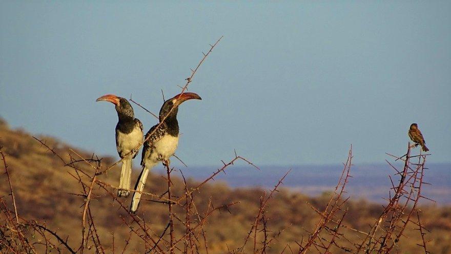 Namibia Erongo-Gebirge Vögel Sonnenaufgang Monteiro Tokos Paar