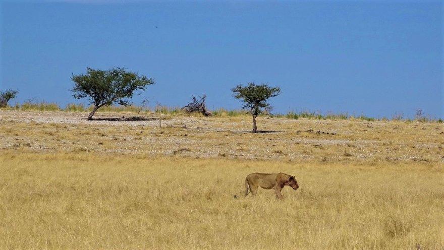 Namibia Etosha Nationalpark Löwin Savanne Löwe