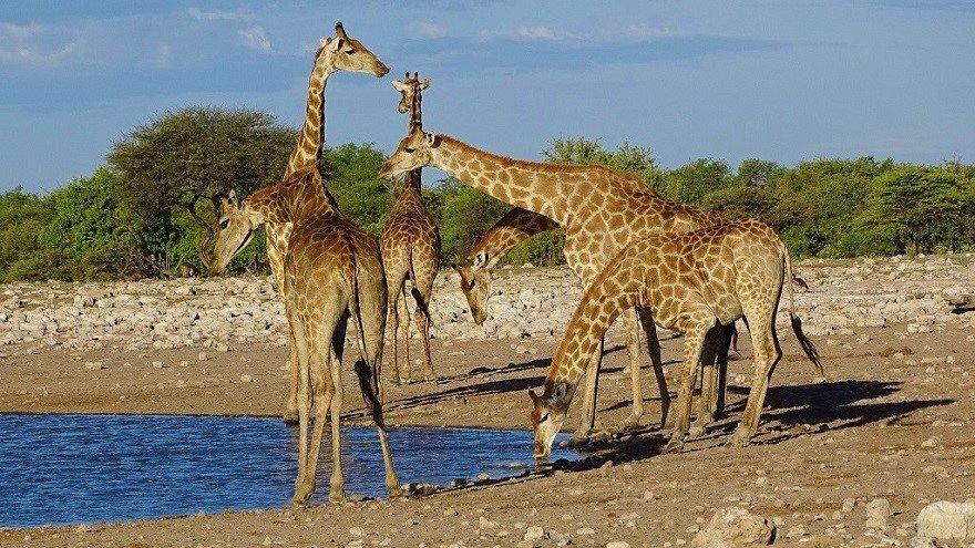 Namibia Etosha Nationalpark Giraffen Wasserloch