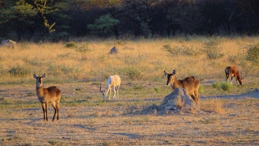Otjiwarongo am Waterberg Namibia Wasserbock Antilopen Sonnenuntergang