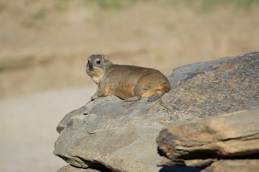 Afrika Hyrax Rock Dassie Klippschliefer Schliefer