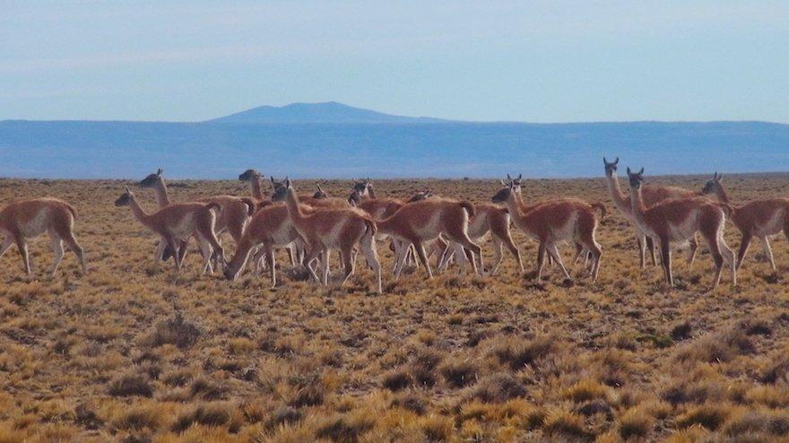 Guanacos Ruta 40 Argentinien Patagonien