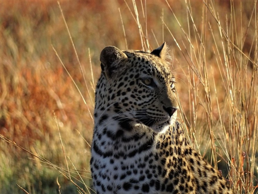 Botswana Central Kalahari Game Reserve Leopard
