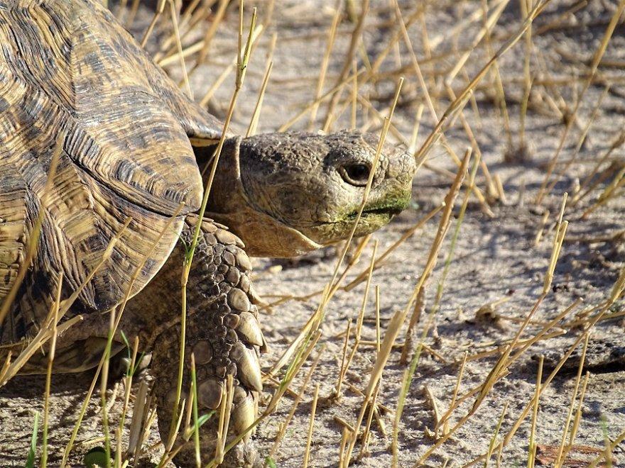 Botswana CKGR Cental Kalahari Leopard Tortoise Panther schildkröte