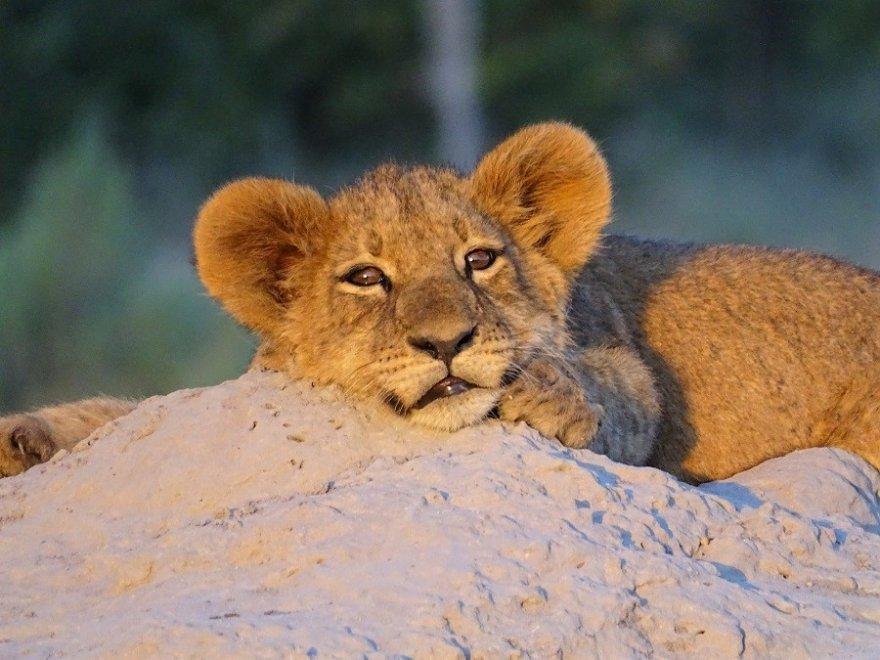 Botswana Chobe Nationalpark Löwen Baby Jungtier