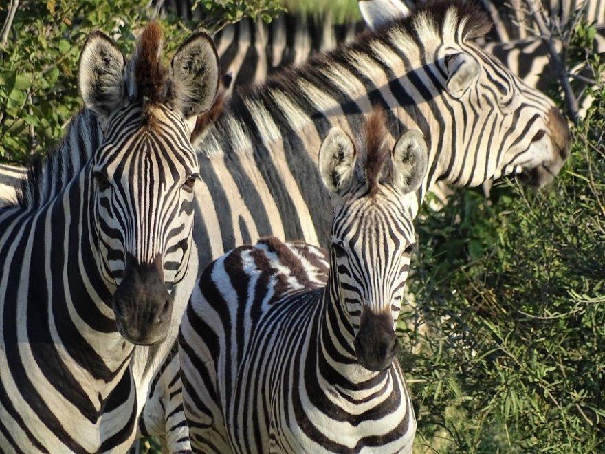 Botswana Chobe Nationalpark Zebras