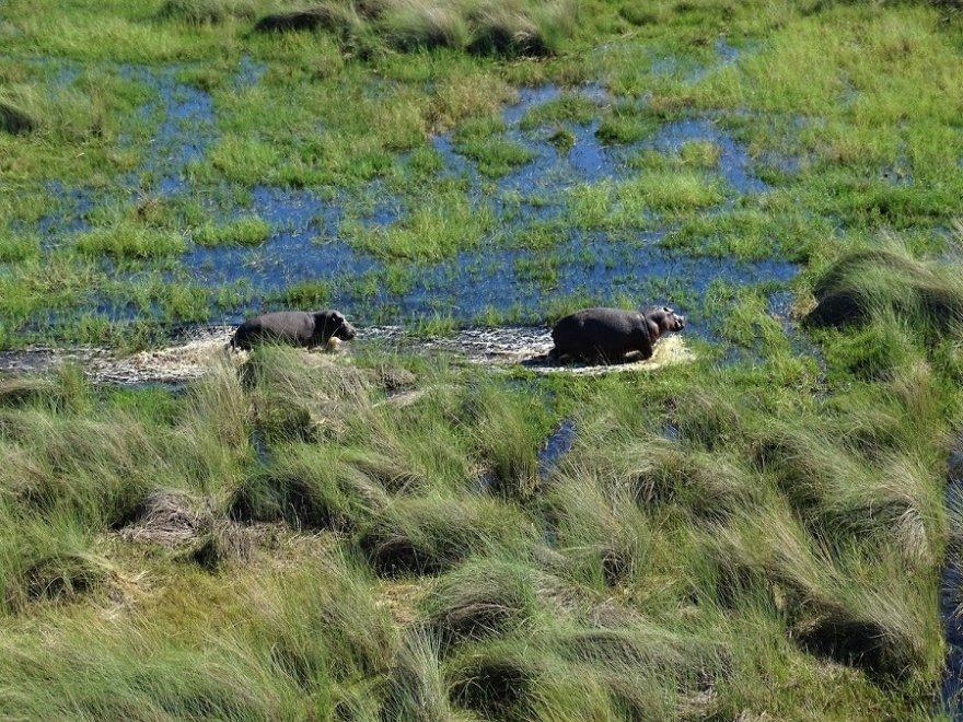 Botswana Okavango Delta Flusspferde Nilpferde