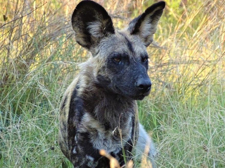 Botswana Okavango Delta Moremi Reserve Afrikanischer Wildhund