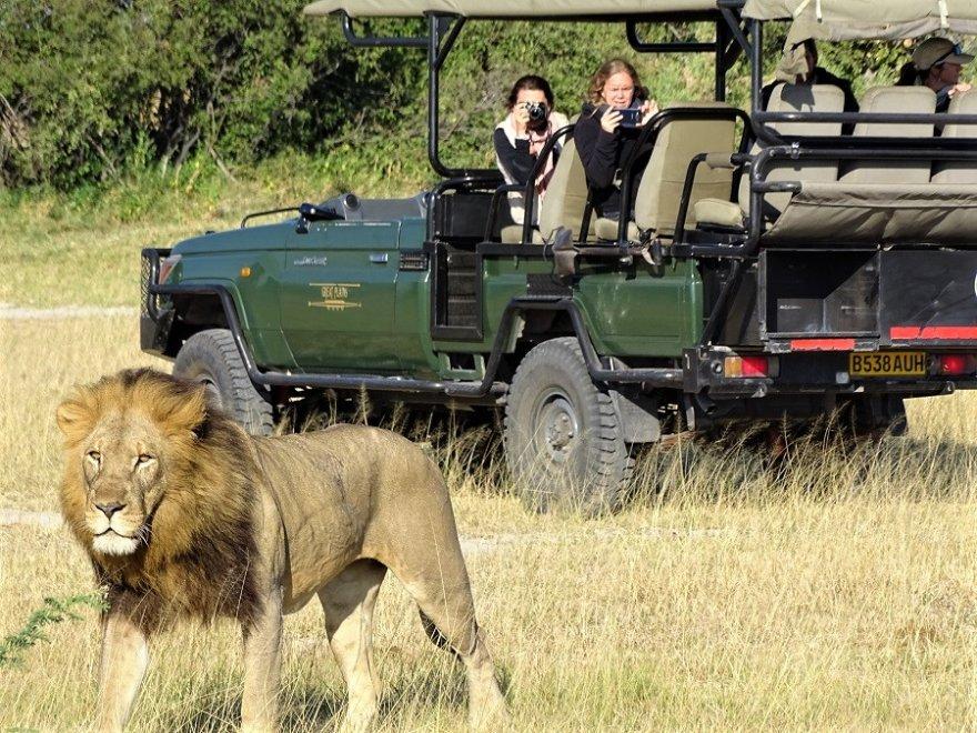 Botswana Okavango Delta Moremi Löwe Sichtung Pirschfahrt Safari