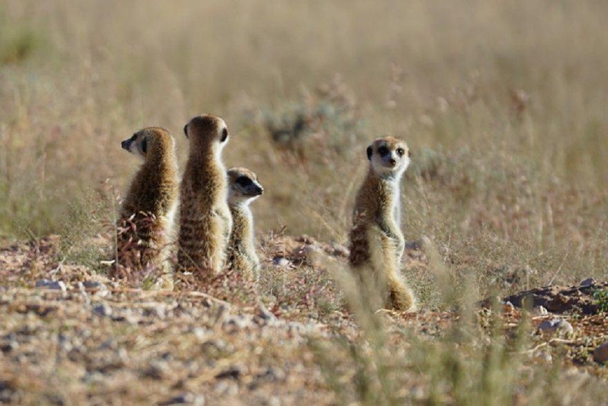 Botswana Südafrika Kgalagadi Meerkat Scharrtier Manguste