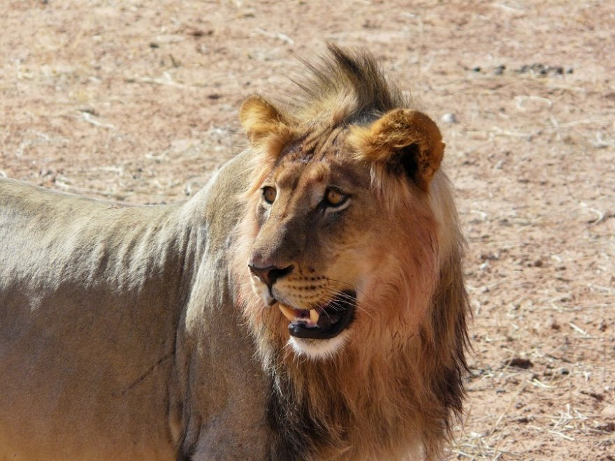 Botswana Südafrika Löwen Männchen Kgalagadi Transfrontier Park