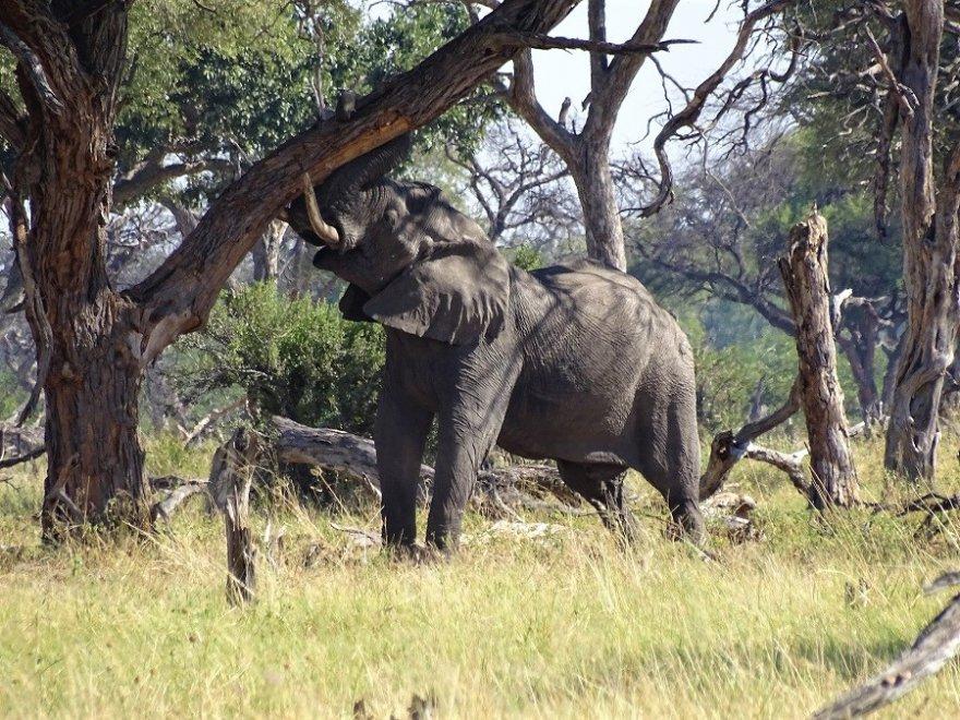 Botswana Tuli Block Elefanten Bulle