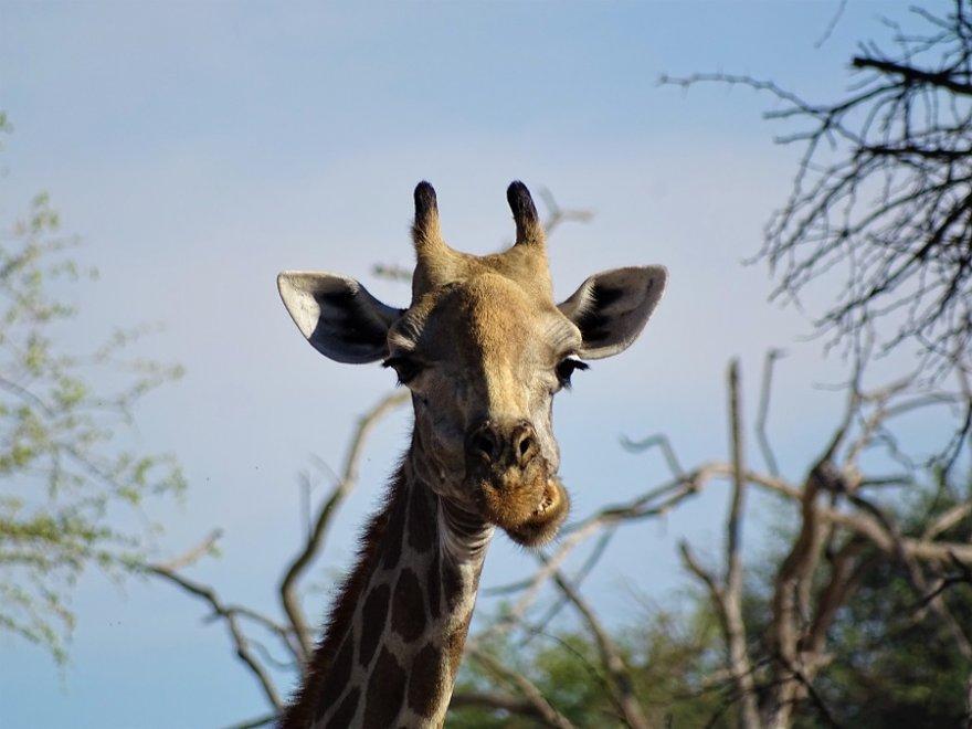 Botswana Tuli Block Kauende Giraffe