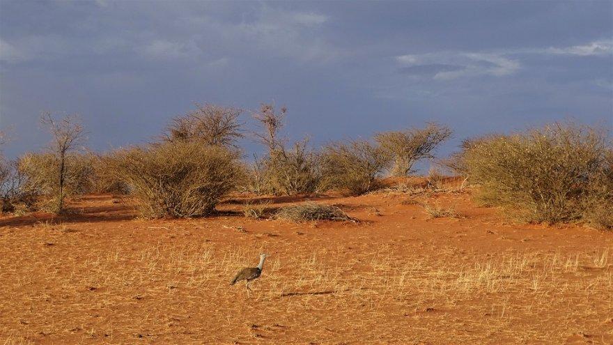 Namibia Kalahari Wüste Landschaft Riesentrappe Korhaan