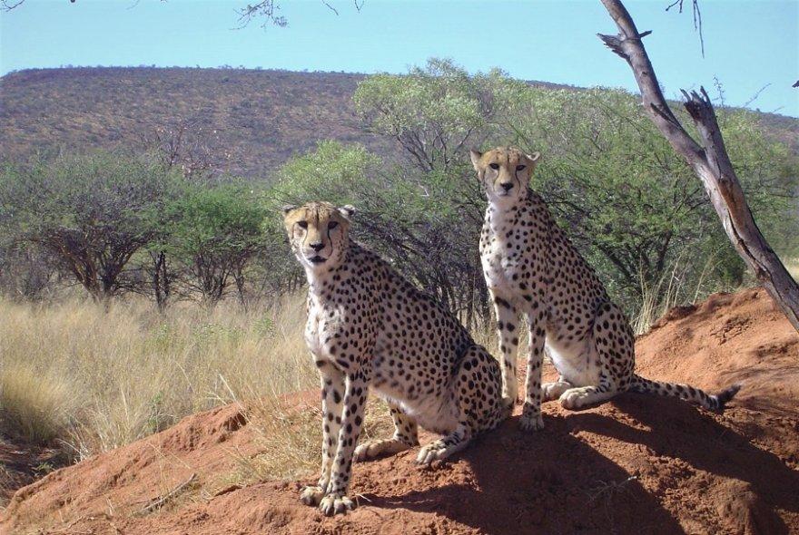 Afrika Namibia Okonjima bei Otjiwarongo Geparden