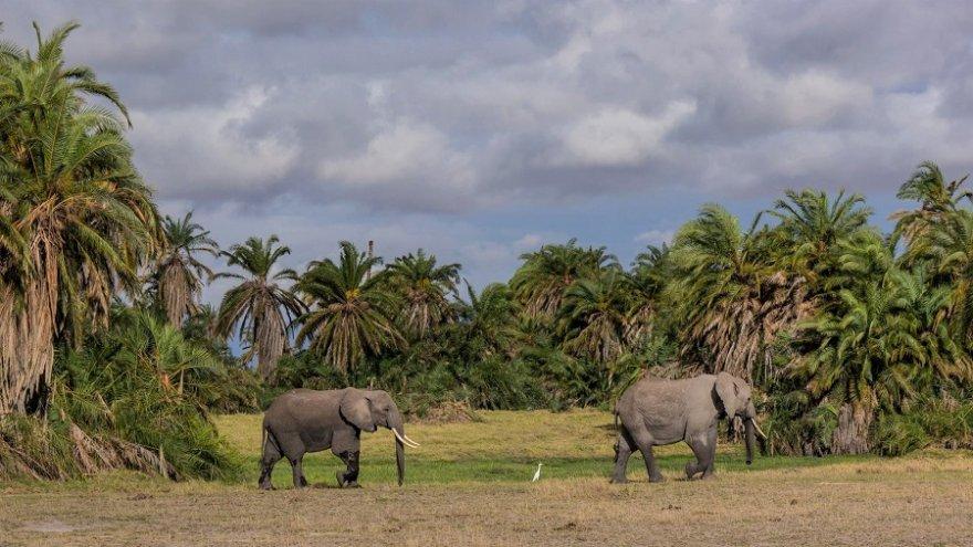 Elefantenherde Amboseli Kenya