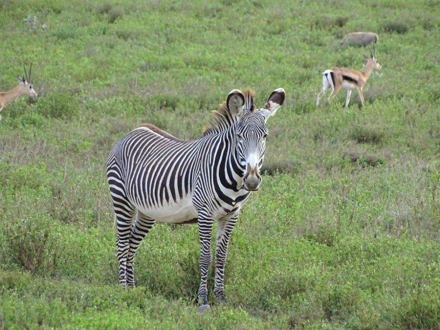 Kenya Ostafrika Grevyzebra am Lake Naivasha