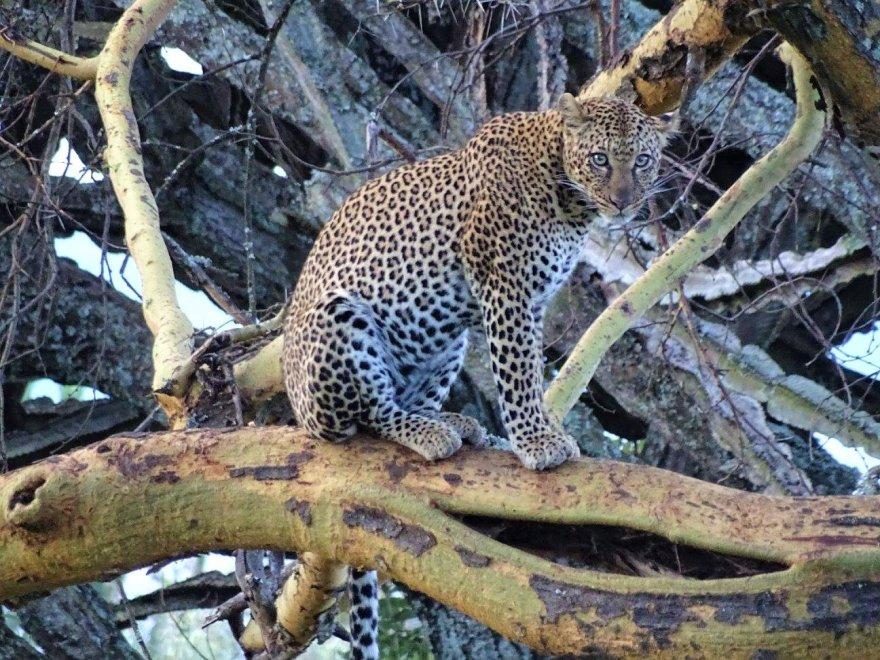 Kenya National Park Leopard