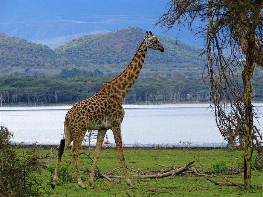 Ostafrika Kenia See Naivasha Giraffe Massaigiraffe