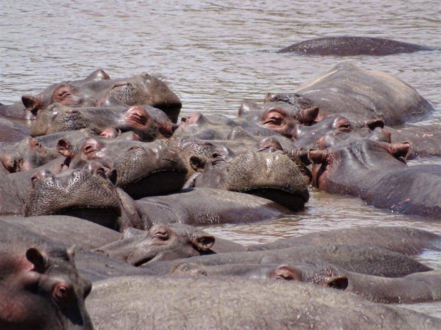 Kenya Mara River Hippos