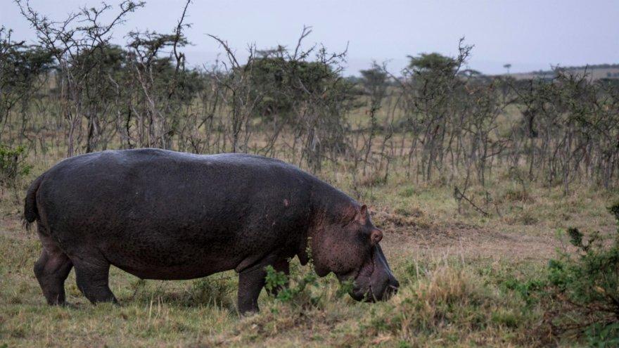 Kenya Ostafrika Flusspferd Hippo an Land