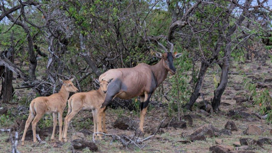 Ostafrika Kenya Masai Mara National Park Serengeti Topi Antelope
