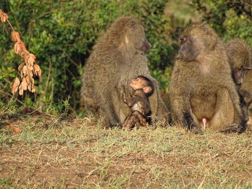 Ostafrika Kenya Ol Pejeta Paviane Baboons mit Jungtier