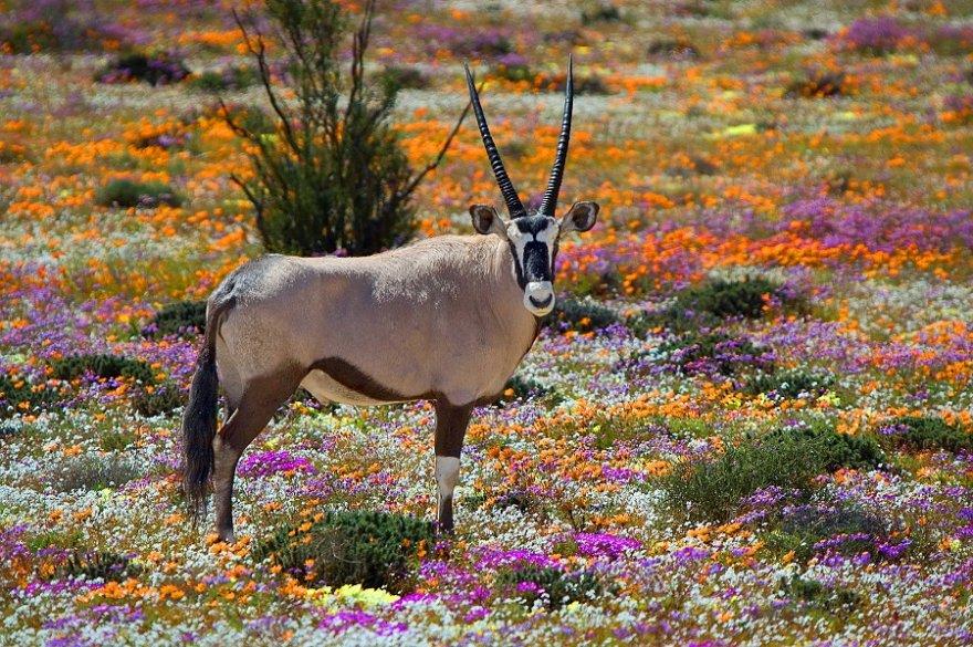 Südafrika Cape to Namibia Namaqualand Oryx Wildblumen