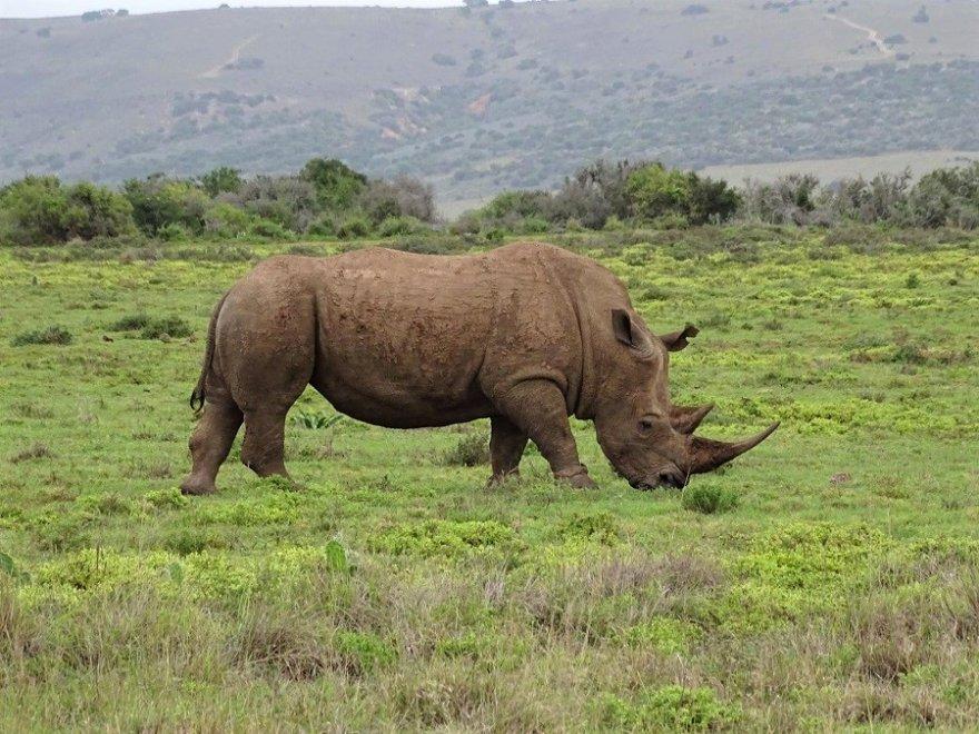Südafrika Amakhala Game Reserve Nashorn