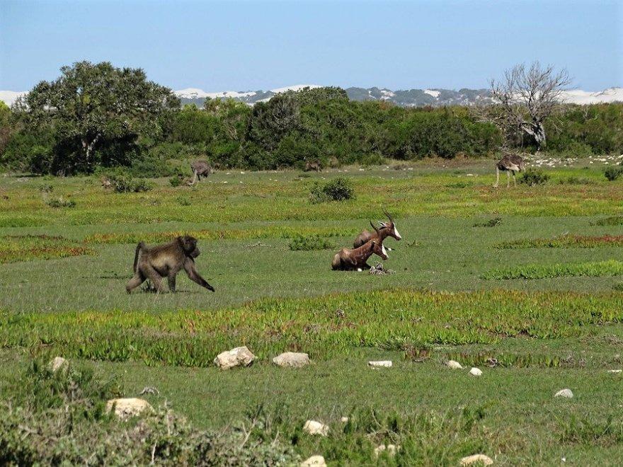 Südafrika De Hoop Naturreservat Tiere Buntbock Pavian