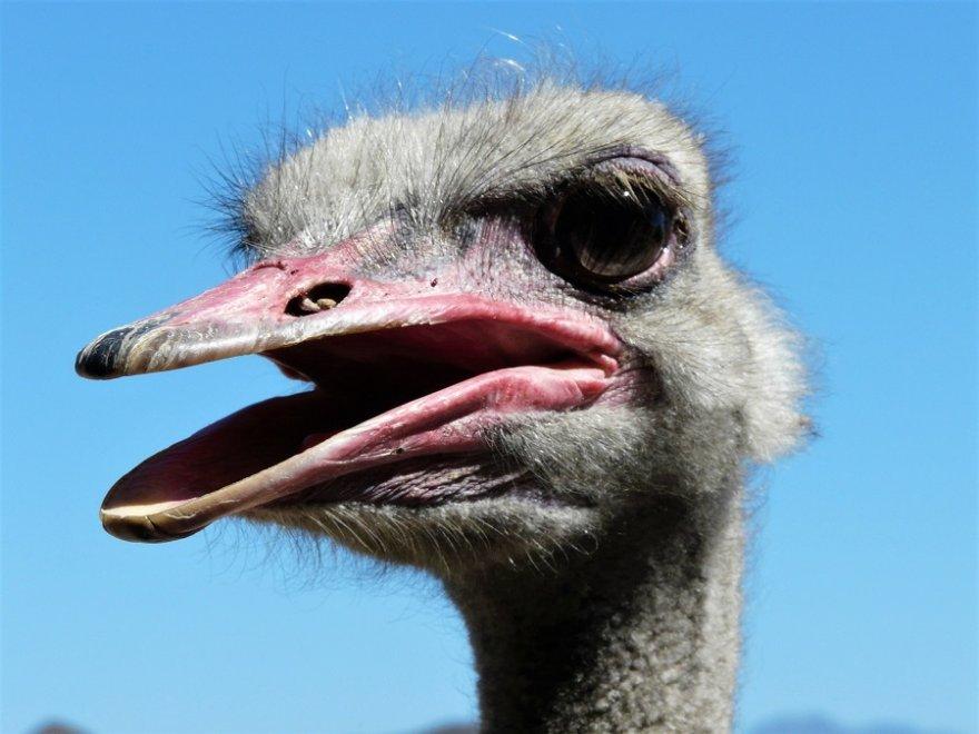Südafrika Garden Route Oudtshoorn Vogel Strauß