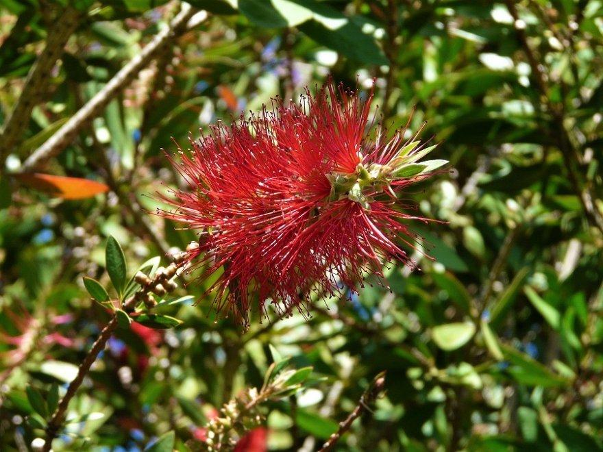 Südafrika Garden Route Zylinderputzer Flora