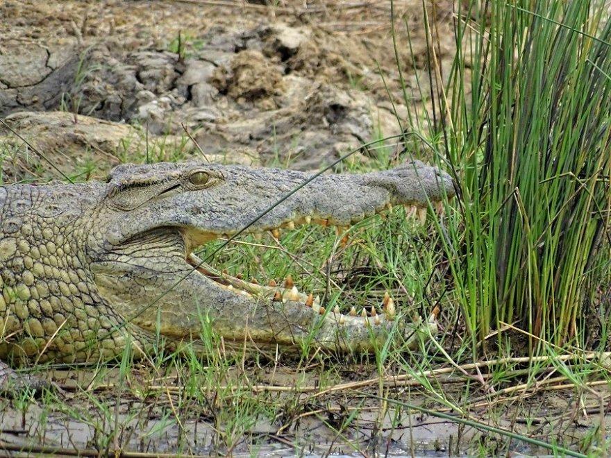 Südafrika KwaZulu Natal iSimangaliso Wetland Park Krokodil