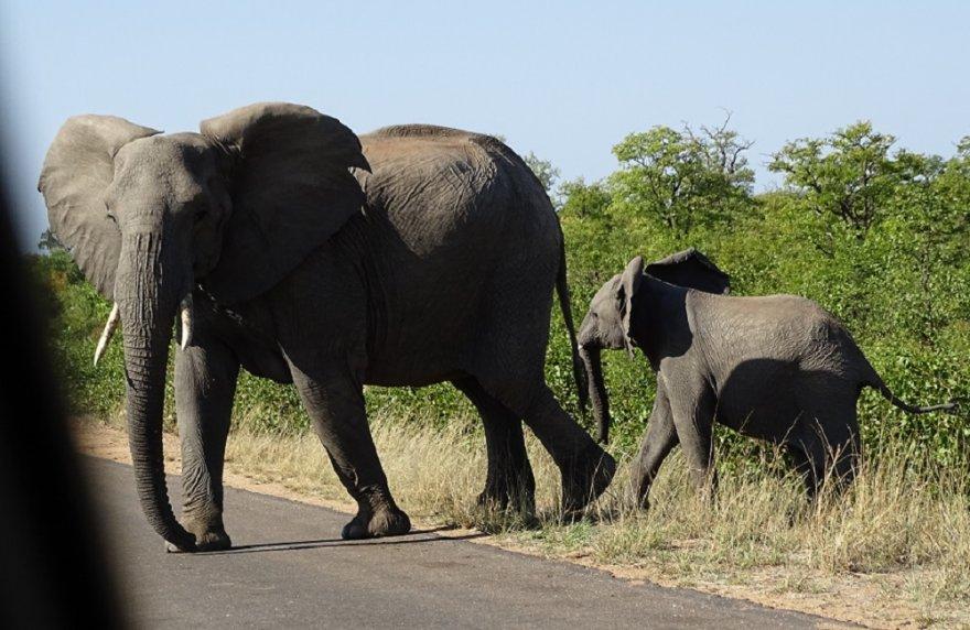 Südafrika Krüger Nationalpark Safari Begegnung Elefanten