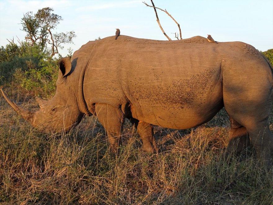 Südafrika KwaZulu Natal Hluhluwe-iMfolozi Nashorn