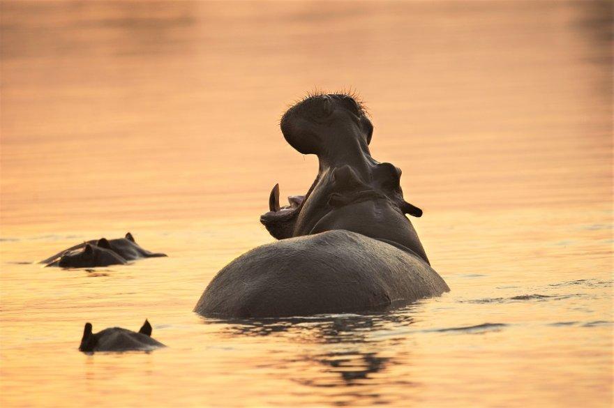 Südafrika KwaZulu Natal iSimangaliso Wetland Park Flusspferde
