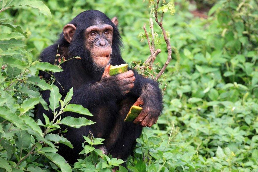 Afrika Ostafrika Tansania Schimpanse Chimp