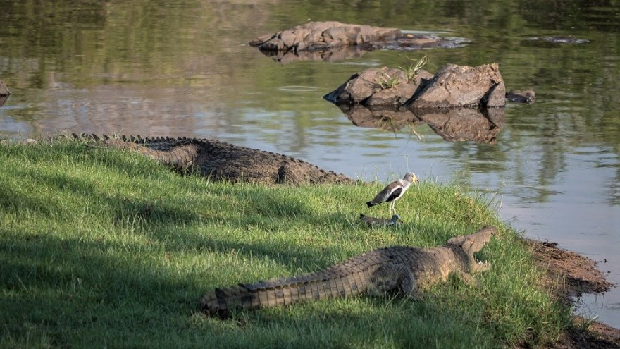 Ruaha Nationalpark Fluss Tansania Krokodile