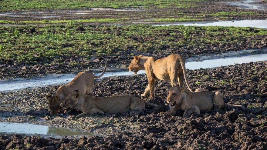 Tansania Selous Game Reserve Löwen