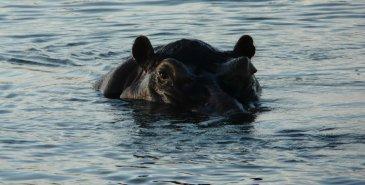 Hippo Caprivi